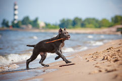Cane corso puppy on the beach Stock Photography