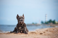 Cane corso puppy on the beach Royalty Free Stock Photography
