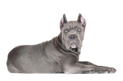 Cane corso puppy Stock Images