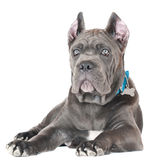 Cane corso puppy Royalty Free Stock Photos