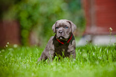 Cane corso puppy with blue eyes Stock Image