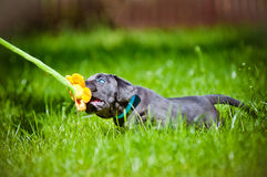 Cane corso puppy with blue eyes Stock Photos