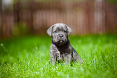 Cane corso puppy with blue eyes Stock Images