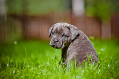 Cane corso puppy with blue eyes Royalty Free Stock Image