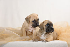 Cane Corso puppy Royalty Free Stock Photo