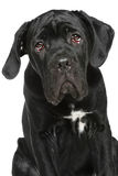 Cane Corso puppy close-up portrait Royalty Free Stock Image