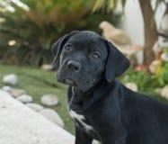 Cane Corso puppy. Closeup portrait of beautiful black Cane Corso, female dog. stock photo
