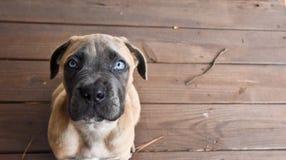 Cane Corso-puppy die omhoog met blauwe ogen kijken royalty-vrije stock foto's