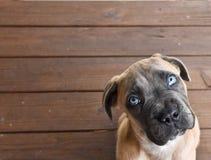 Cane Corso-puppy die omhoog met blauwe ogen kijken royalty-vrije stock fotografie
