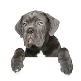 Cane Corso puppy gets out of the box Royalty Free Stock Photo