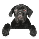 Cane Corso puppy gets out of the box Stock Images