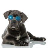 Cane Corso puppy Stock Photo