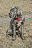 Cane corso puppy Royalty Free Stock Image