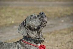 Cane corso puppy Stock Image