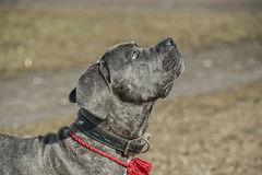 Cane corso puppy Royalty Free Stock Images