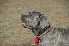 Cane corso puppy Stock Photo