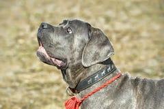 Cane corso puppy Royalty Free Stock Photography