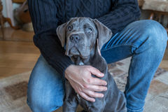 Cane corso puppy in human hands Stock Image