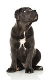 Cane Corso puppy Stock Photos