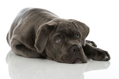 Cane Corso puppy Stock Photography