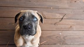 Cane Corso puppy looking up with blue eyes royalty free stock photos