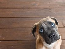 Cane Corso puppy looking up with blue eyes royalty free stock photography