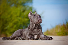 Cane corso puppy lying down Royalty Free Stock Photo
