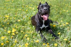 Cane corso puppy is lying in a green grass and looking at the camera. Cane corso italiano or italian mastiff. stock photo