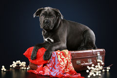 Cane corso puppy lying on suitcase Royalty Free Stock Images