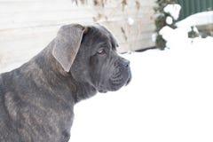 Cane corso puppy near house outdoor profile stock photography