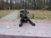Cane corso puppy. In the park stock image