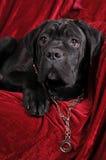 Cane corso puppy portrait Stock Photo