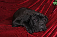 Cane corso puppy portrait lying Royalty Free Stock Photos