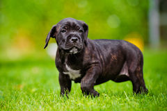 Cane corso puppy portrait Royalty Free Stock Images