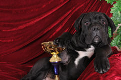 Cane corso puppy portrait with winning gold cup Royalty Free Stock Images