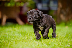 Cane corso puppy running outdoors Royalty Free Stock Photography
