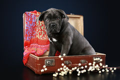 Cane corso puppy sits in suitcase Royalty Free Stock Images