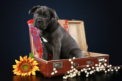 Cane corso puppy sits in suitcase Royalty Free Stock Image