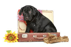 Cane corso puppy sits in a suitcase Stock Photography