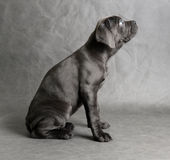 Cane corso puppy sitting Stock Images