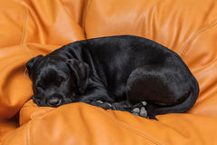 Cane corso puppy sleeping on leather couch Royalty Free Stock Photography