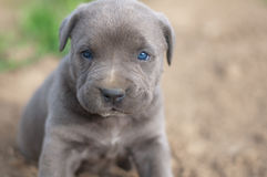 Cane corso puppy. Two weeks old cane corso Stock Image