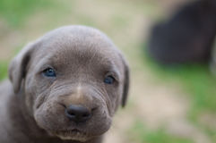 Cane corso puppy. Two weeks old cane corso Royalty Free Stock Photo