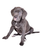Cane corso puppy on a white background Royalty Free Stock Image