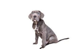 Cane corso puppy on a white background Royalty Free Stock Photo
