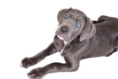 Cane corso puppy on a white background Royalty Free Stock Photography