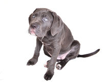 Cane corso puppy on a white background Royalty Free Stock Images