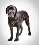 Cane corso puppy on a white background. Cane corso puppy sits on a white background Stock Photos