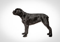 Cane corso puppy on a white background. Cane corso puppy sits on a white background Stock Images