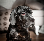 Cane corso puppy on a white background. Cane corso puppy sits on a white background Royalty Free Stock Image